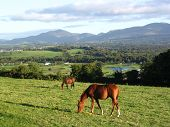 Horses Grazing In Ireland