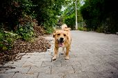 Domestic Ginger Color Dog On The Asphalt Bricks Footpath On The Background Of Street And Green Plant poster