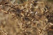 foto of bitchy  - Dry aggressive brown prickles in desert Negev - JPG