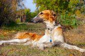 Russian Wolfhound (borzoi) Lying In Autumn Garden. Outdoors.