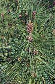 Ponderosa Pine (pinus Ponderosa). Called Bull Pine, Blackjack Pine And Western Yellow Pine Also. poster