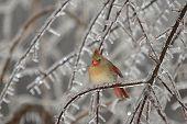 Female Cardinal In Ice