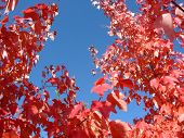 Background Of Sky And Red Leaves
