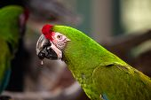Military Macaw Bird Ara Militaris poster
