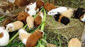 pic of creole  - Peruvian Animal distinct used in Creole dishes - JPG