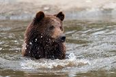 Brown Bear In A Water poster