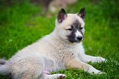 Portrait Of Cute Siberian Laika Lying Down On The Grass poster