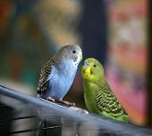 A Pair Of Parakeets