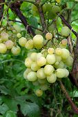 Bunches Of Grapes In A Vineyard After Rain On A Wine Estate Or Farm.. poster