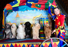 stock photo of parti poodle  - Smiling harlequin presents 7 standing dogs - JPG