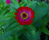 Red Flower. Flower In Garden At Sunny Summer Or Rainy Day. Flower For Postcard Beauty Decoration And poster