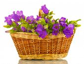blue bell flowers in basket isolated on white