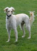 Saluki Male, With A Feathered Coat