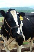 Cow Portrair