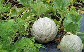 Cantaloups In Garden