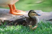 Duckling Resting