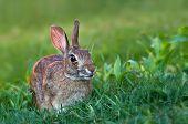 Sylvilagus bunny