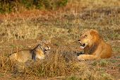 A Southern Lion (panthera Leo Melanochaita) Also As An Eastern-southern African Lion Or Eastern-sout poster