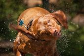 pic of vizsla  - A wet Vizsla dog shakes the water off its coat - JPG