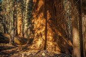 Ancient Giant Sequoia. Sequoiadendron Giganteum Also Known As Giant Redwood, Sierra Redwood, Sierra  poster