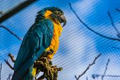 Closeup Of A Blue Throated Macaw Parrot Roosting, Critically Endangered Bird Specie From Bolivia poster