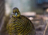 Face Of A Female Golden Pheasant In Closeup, Tropical Bird Specie From China And America poster