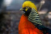 Closeup Of The Face Of A Male Golden Pheasant, Colorful Tropical Bird Specie From China And America poster