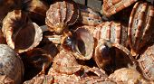 Large Gastropod Sea Shells