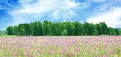 Blossoming Meadow And The Wood