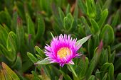 Succulent Coastal Plant Carpobrotus Rossii Or Carcalla, Growing On Coastal Dunes. Pink Blooming Flow poster