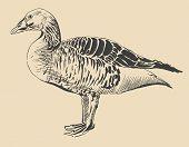 Ink Drawing Of Bird Duck, Anser Anser