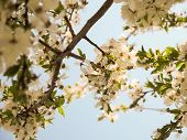 Spring Blossom: Branch Of A Blossoming Cherry Tree On Garden. Sunny Day. Abstract Floral Background. poster