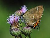 butterfly - White-letter Hairstreak (Satyrium w-album). Close-up
