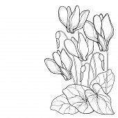 Vector Corner Bouquet Of Outline Cyclamen Or Alpine Violet Bunch, Bud And Leaf In Black Isolated On  poster