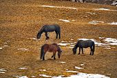 Russia. The South Of Western Siberia. Mountain Altai. Freely Grazing Horses Along The Chui Tract. poster