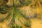 Small Yucca Trees In A Tropical Garden, Exotic Evergreen Plant Specie From America poster
