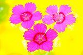 Dianthus rosa vibrante de flores na água