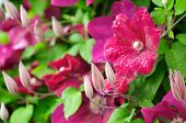 Beautiful Burgundy Clematis Flowers And Buds