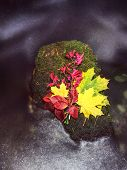 Yellow Green Maple Leaf Caught On The Stone In Rapids Of Mountain Stream. Mossy Wet Slipper Stone In poster