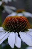 Fragment Of The Flower Echinacea Magenta Medicinal Shot Vertically. poster