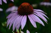 Soaked From The Rain Flower Echinacea Magenta Medicinal Large Removed With Numerous Pestles In Raind poster