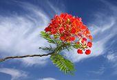 Gulmohar bloemen op mooie heldere hemel