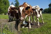 Rote friesische Kühe