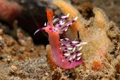 foto of flatworm  - Flabellina Exoptata Showing Off - JPG
