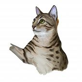 Cheetoh Cat Isolated On White. Digital Art Illustration Of Hand Drawn Kitty For Web. Beautiful Kitte poster