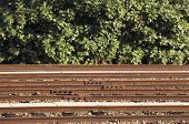 Railway And Bushes