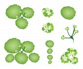 A Set Of Asiatic Pennywort On White Background