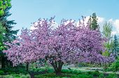 a blooming apple tree