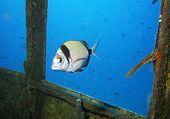 Fish On The Bridge Of The Rosi Wreck In Malta