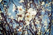 Mandel Blume